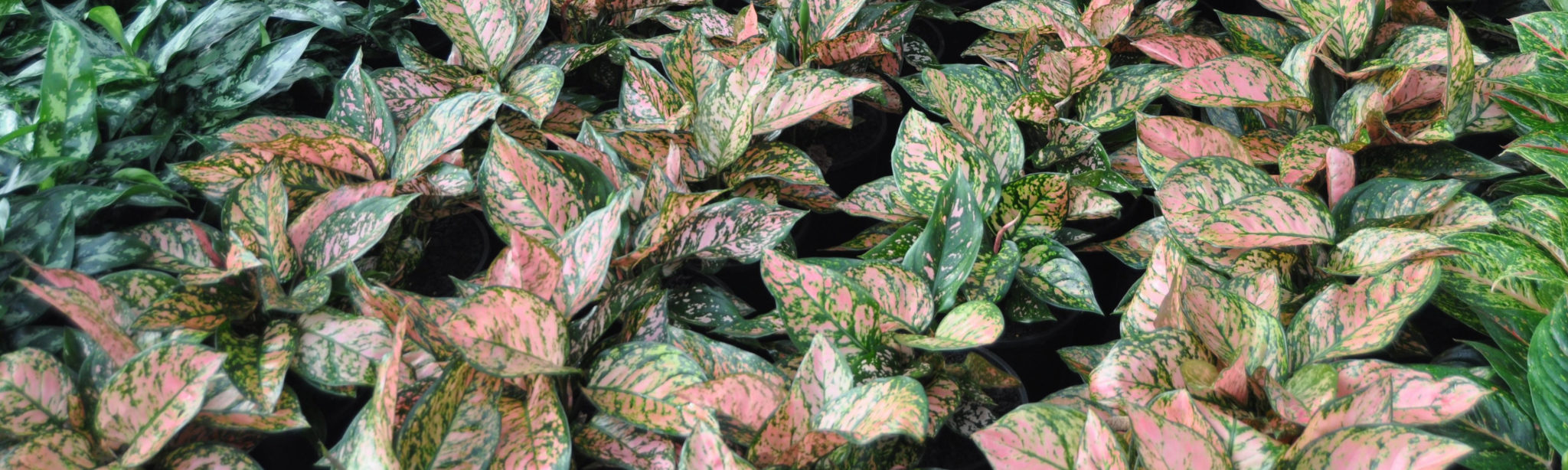 An image of beautiful Aglaonema Pink Lady growing in the nursery.