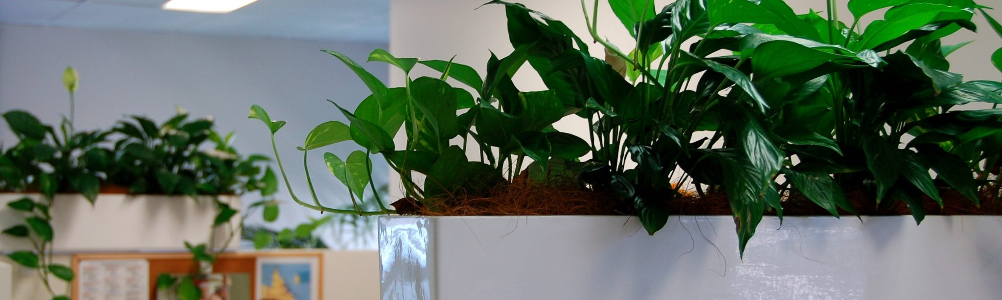 White Partition troughs with pothos hanging over the edge