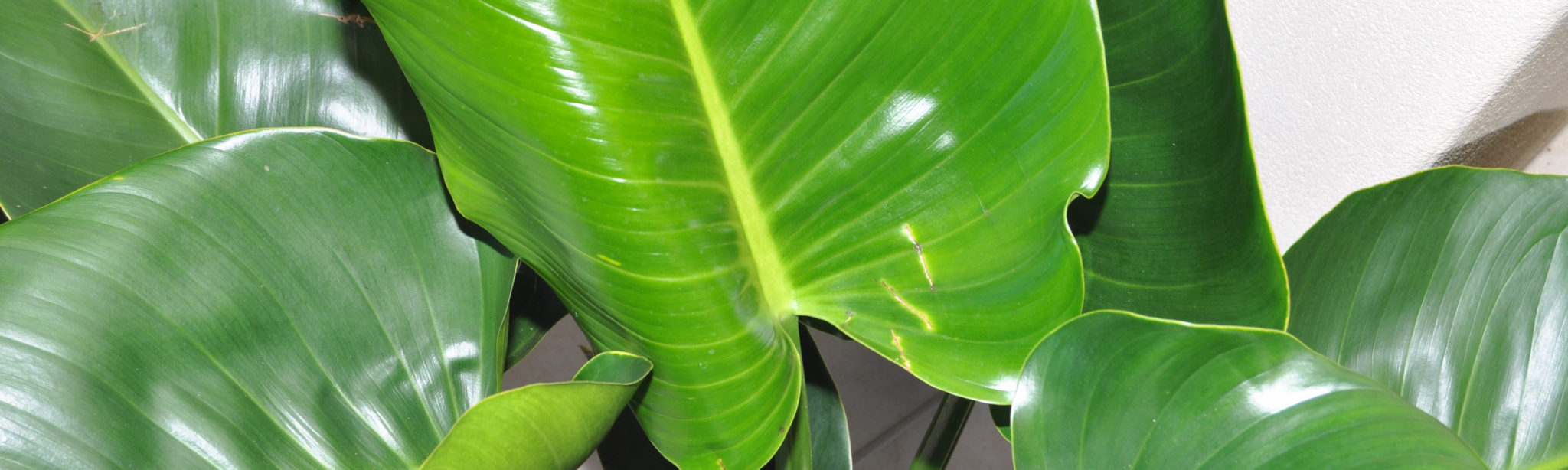 A closeup image of the glossy leaves of a Philodendron Congo.