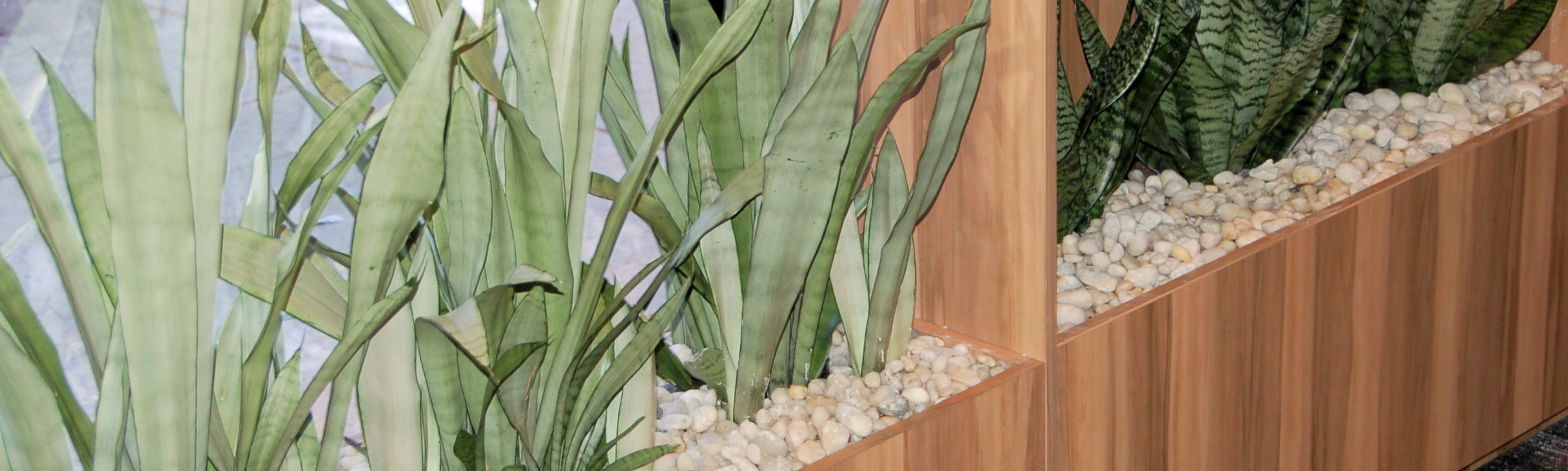 Showing a Timber Planter with two types of Sansevieria (Mother-in-law Tongue)