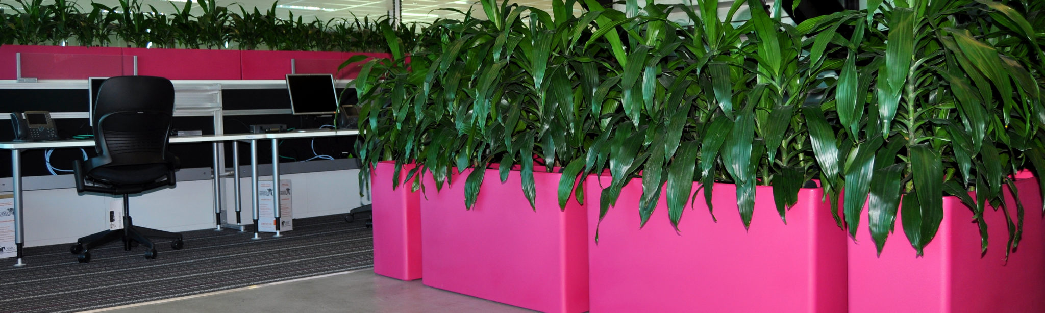 Showing four Urban 10 troughs in magenta containing Dracaena Janet Craig.