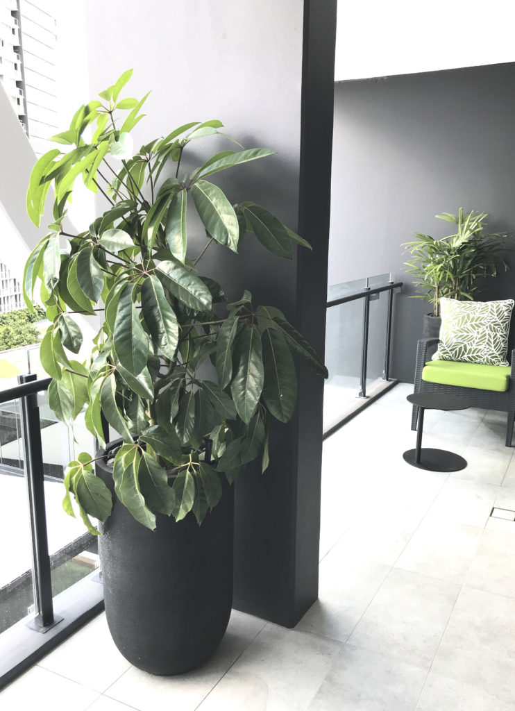 Showing a black tall planter with Umbrella Tree.