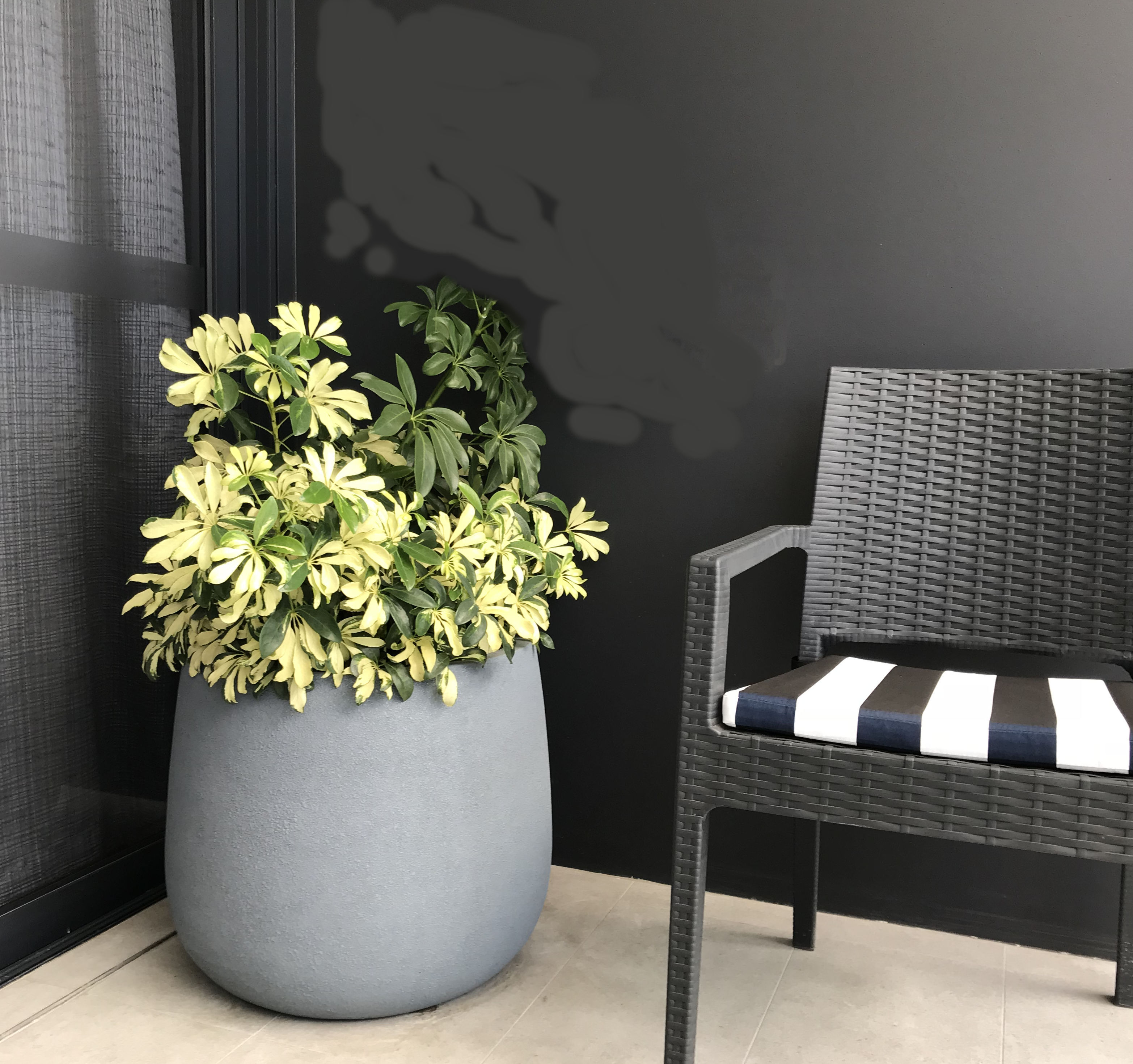 Showing a grey Duffel Planter with NZ Umbrella Tree beside a striped Chair.