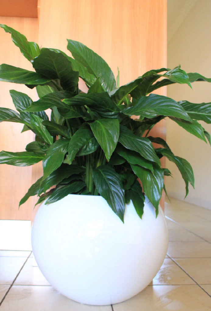 Showing a white Bondi 43 with a spathiphyllum.