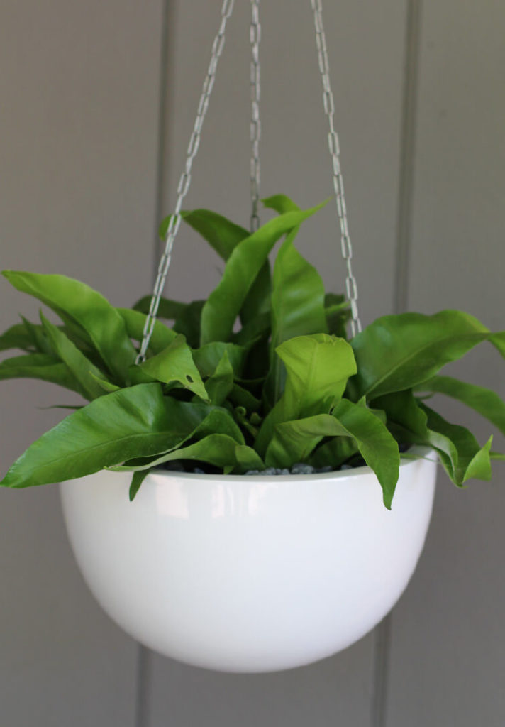 Showing a Corinda 22 hanging planter with a Birds Nest fern.