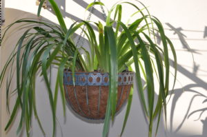 Showing a hanging Wire Planter with a drooping plant. These are not suitable indoors.