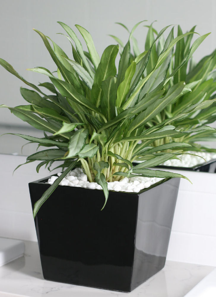 Showing a Graceville 40 in glossy black with an Aglaonema.