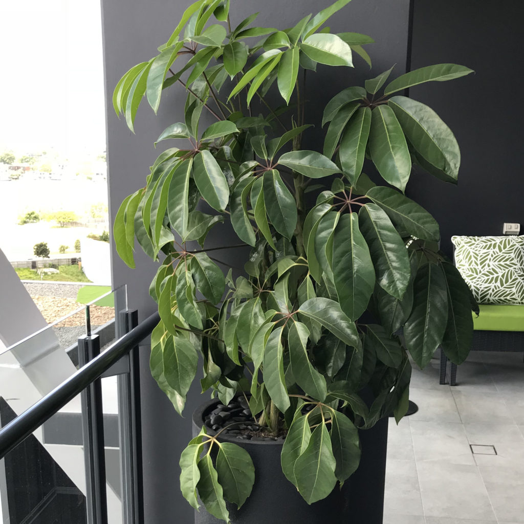 Showing an Umbrella Tree in a tall black planter.