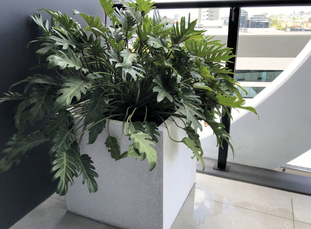 Showing a white cube-shaped Terrazzo Planter on a balcony with a Philodendron Zanadu.