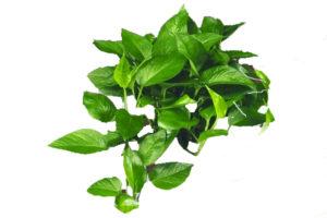 A closeup of Pothos leaves