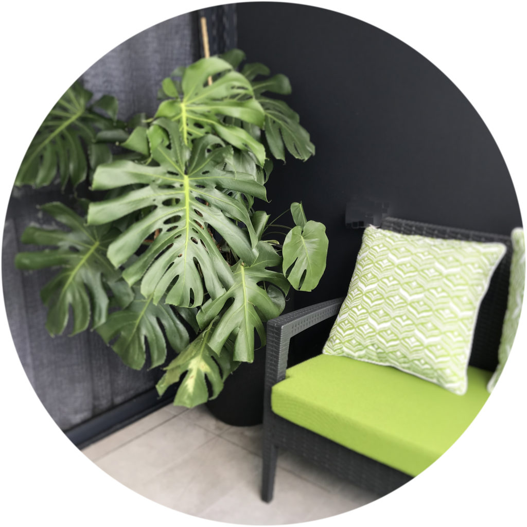 An image of a Monstera Deliciosa on a balcony in a high rise building in Brisbane.