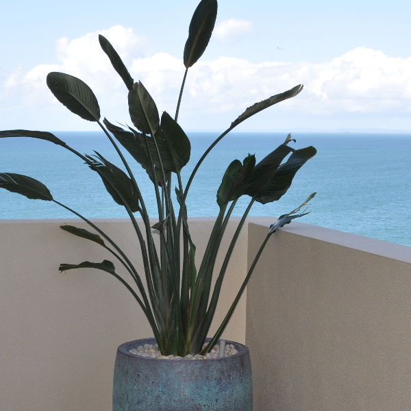 Showing a Strelitzia in a blue pot on a balcony overlooking the sea.