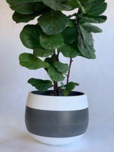 Showing a Cup Planter with three bands of colour with a Ficus Lyrata.
