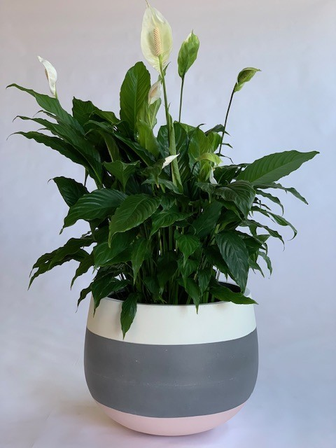 Showing a painted Cup Planter in three bands of colour., white, grey and pink with a Spath Sensation.
