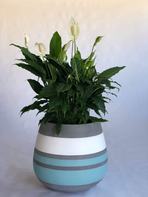 Showing a painted Duffel (bulge in middle) planter in bands of colour., blue, white and grey with a flowering Spath Sensation.