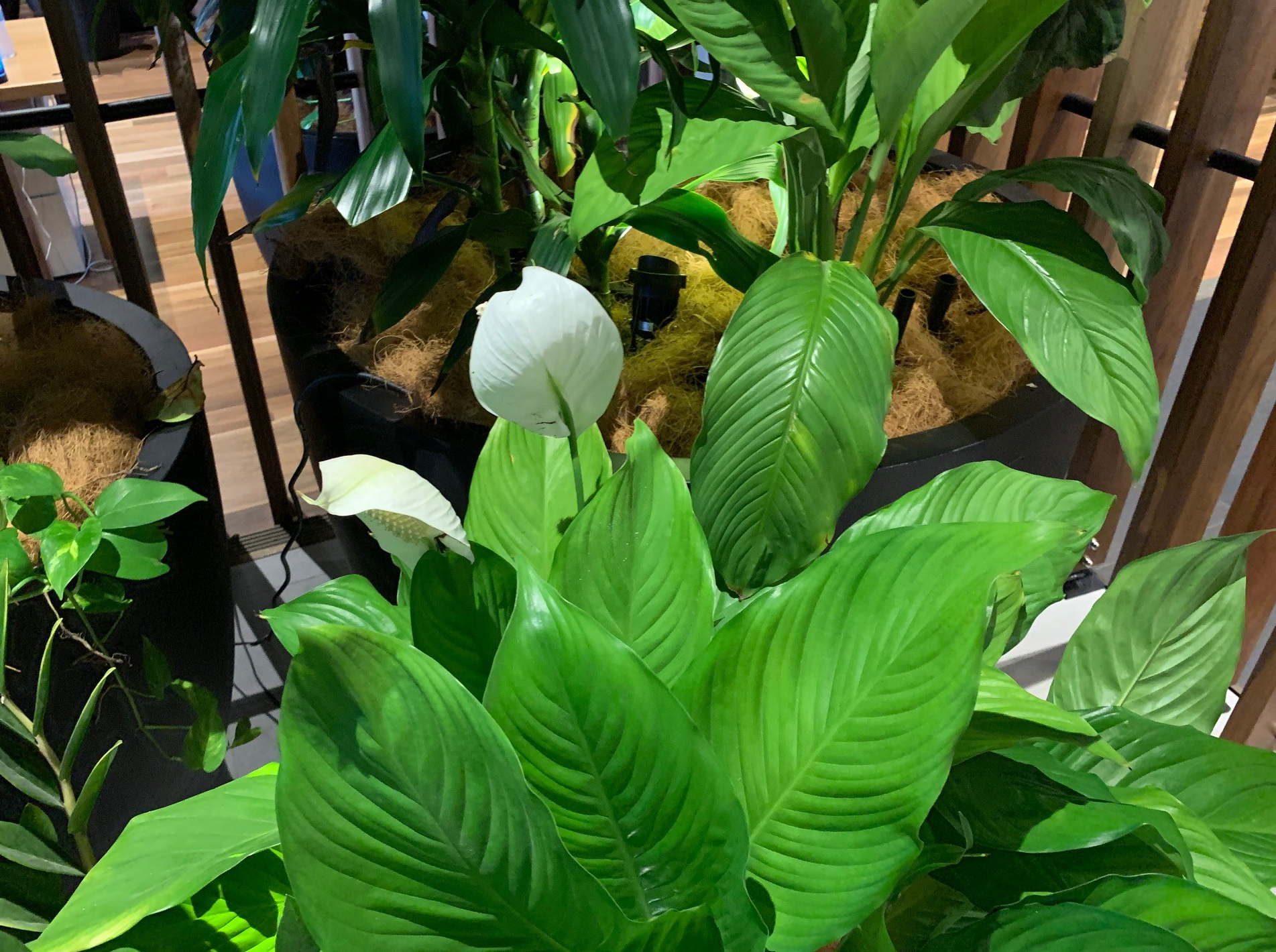 Lush Greenery showing a flowering Spathiphyllum (Peace Lily) in the foreground.